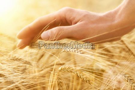hand streicht ueber getreideaehren