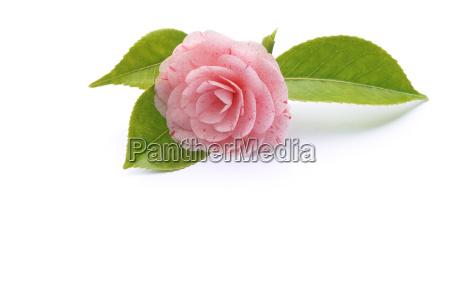kamelie blumen pflanzen teestrauchgewaechs ericales camellia