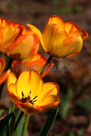 tulips yellow red