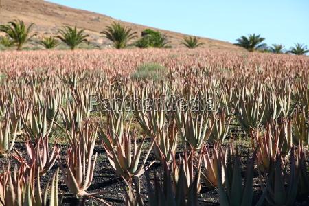 aloe medicinal plant plant nature