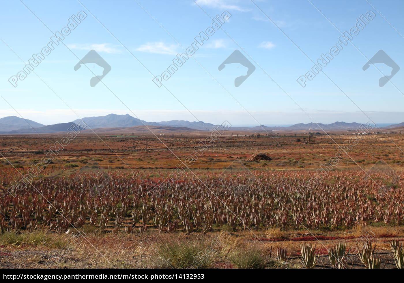 Fuerteventura, Kanarischen Inseln, Pflanze, Aloe, Natur, Echte Aloe - 14132953