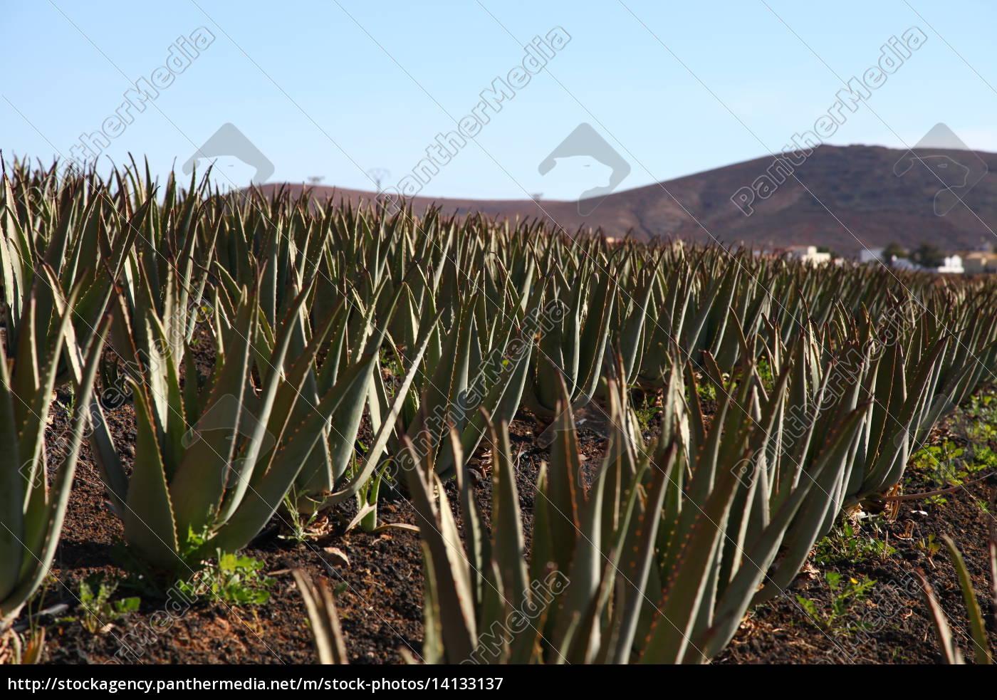 Fuerteventura, Kanarischen Inseln, Kanaren, Insel, Pflanze, Echte Aloe - 14133137