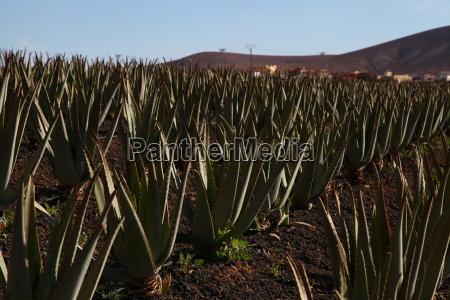 Fuerteventura, Kanarischen Inseln, Kanaren, Insel, Pflanze, Echte Aloe - 14133139