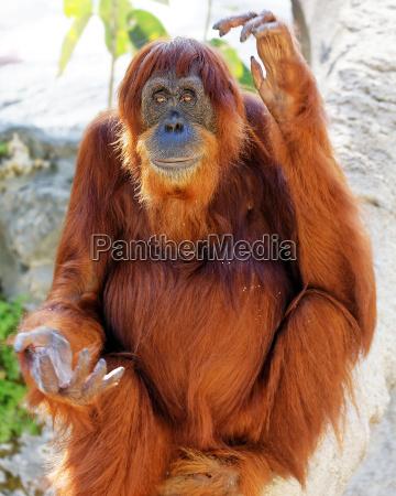 orang utan in der gefangenschaft sitzt