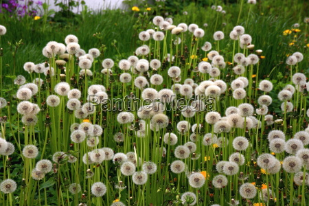 dandelions dandelions