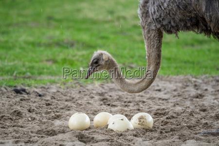 strauss schutz der eier
