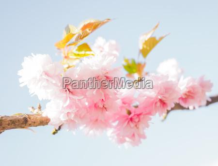 japanische rosa kirschblueten bluehen