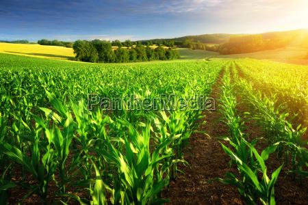 corn field in the sunshine