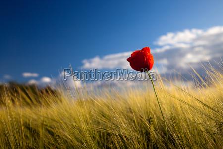 poppy flower against blue sky