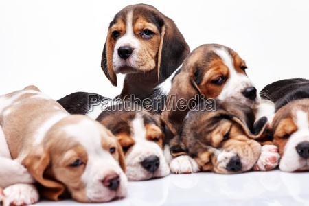 beagle welpen auf weissem hintergrund