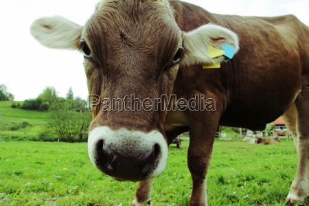 a curious young dairy cow allgaeu