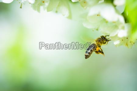 abeja de miel en vuelo acercandose
