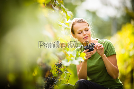 woman picking grape during wine harvest