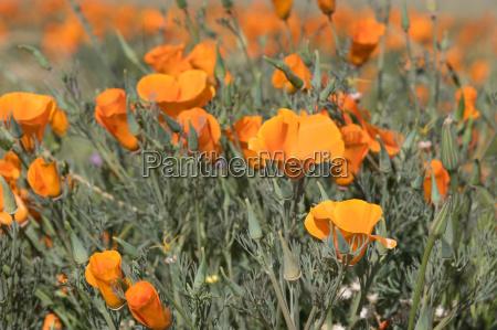 antelope valley poppy reserve kalifornien usa