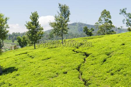 tea plantation camellia sinensis