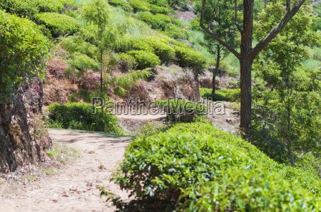 path through a tea plantation