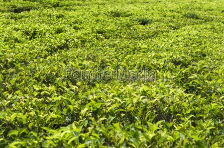 tea field camellia sinensis