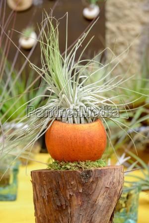 tillandsia pflanzen