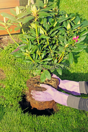woman planting rhododendron bush in garden
