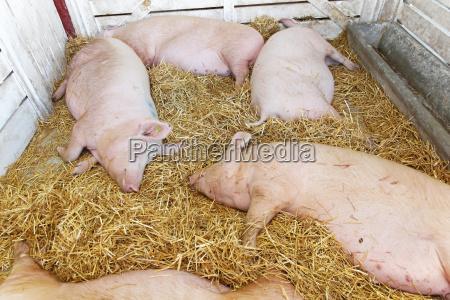 schweine pandemie