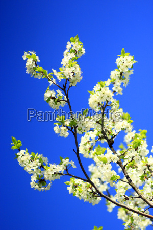 spring blossoming of tree of