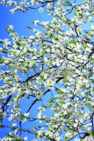 blooming of tree and blue sky