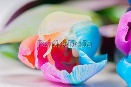 macro shot of multicolored tulip