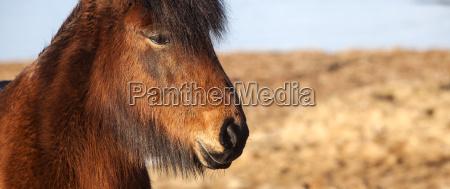 extreme nahaufnahme eines islaendischen braunen ponyses