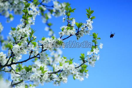 blossoming tree of plum on background