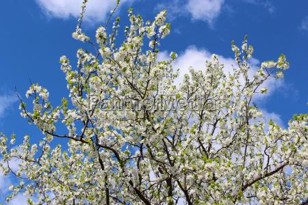 bluetenbaum pflaume auf dem hintergrund des