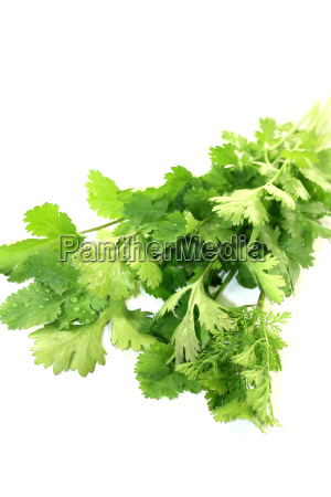 frischer gruener koriander