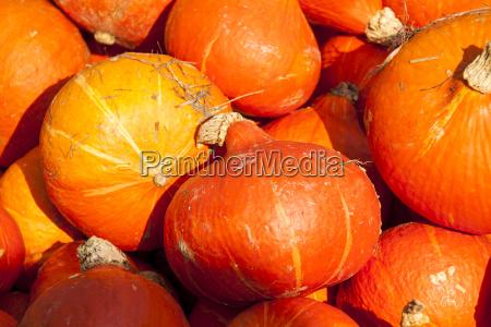 red roter hokkaido cucurbita pumpkin kuerbis