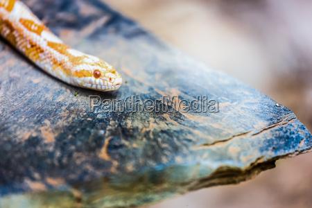 albino gopher schlange oder zuengelnder python
