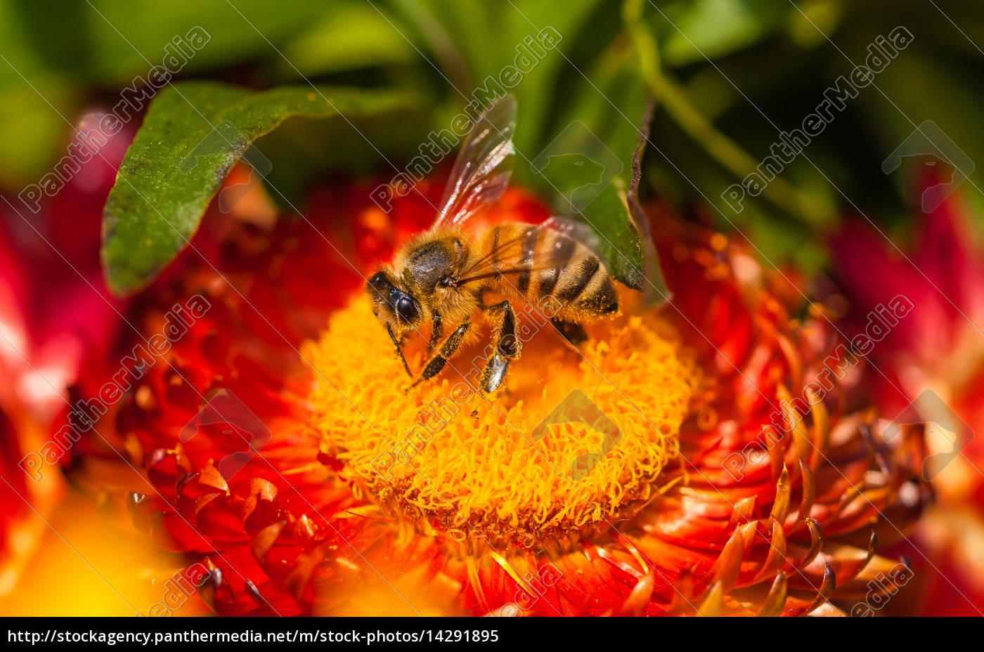 biene, auf, rot/gelber, blüte, als, makro - 14291895