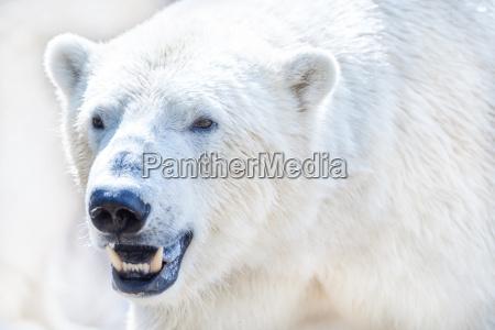 polar eisbaer in nahaufnahme