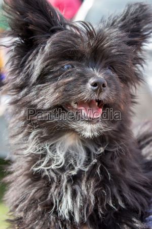 dog pet young puppy long hair