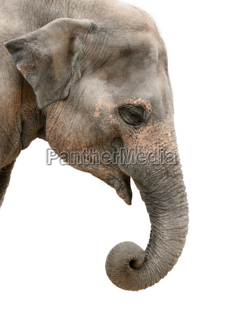 profile portrait of an asian elephant