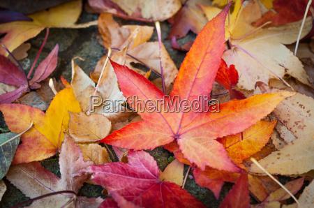 farbenfroher herbst blaetter des kanadischen amberbaums