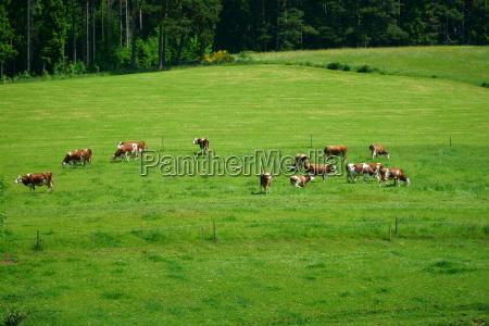 weidende kuehe im sommer im schwarzwald