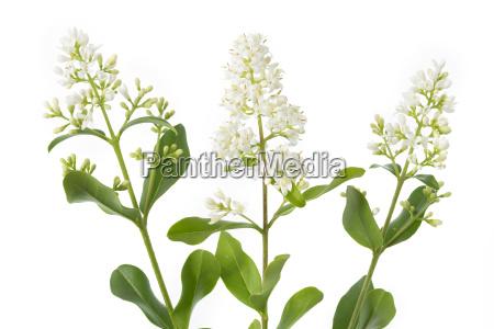 flowering privet ligustrum
