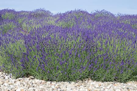 bluehender lavendel