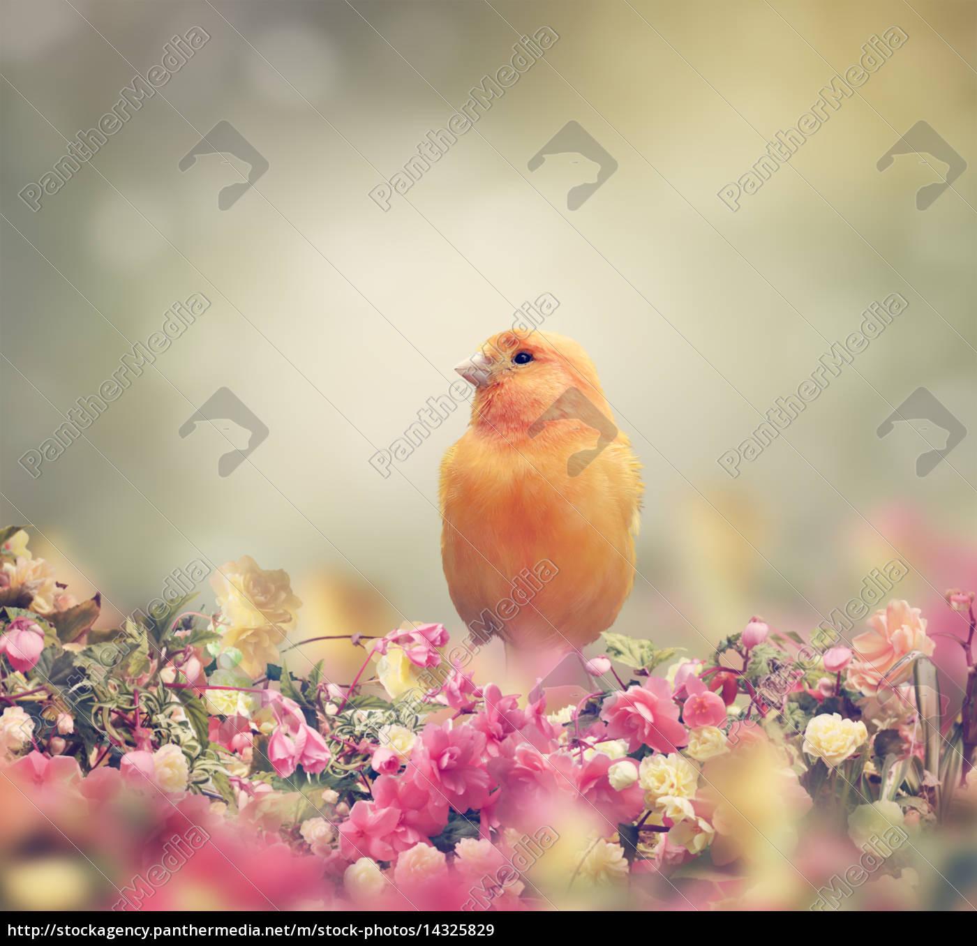 yellow, bird - 14325829