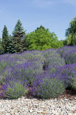bluehender lavendel steine im vordergrund und