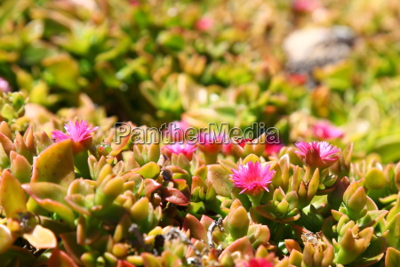 Fuerteventura, Kanarischen Inseln, Kanaren, Natur, Pflanze, Pflanzen - 14326515