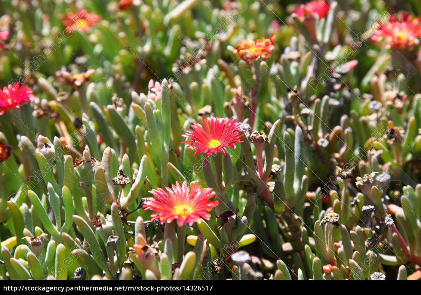 Fuerteventura, Kanarischen Inseln, Kanaren, Natur, Pflanze, Pflanzen - 14326517