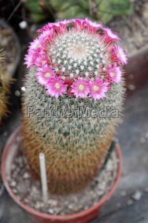 cactus mammillaria sp with flowers rosafarbnen