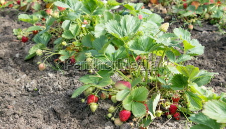 strawberry plants with ripe red strawberries