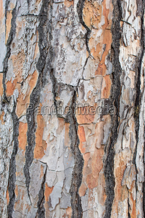 bark of a pine tree