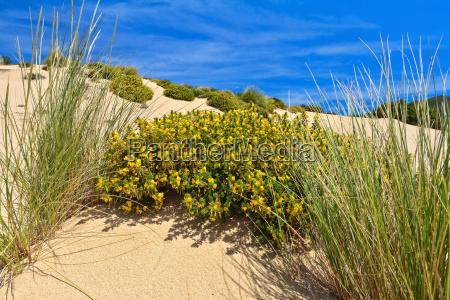 sardinien bluehenden dune