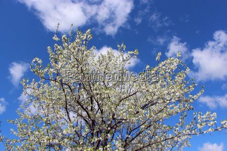 branch of blossoming tree of plum